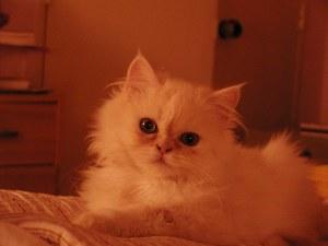 ¿Todos los Chichines serán gatos?